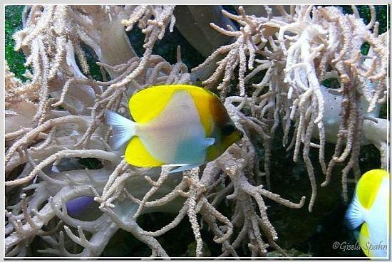 Schwarzkopf-Falterfisch