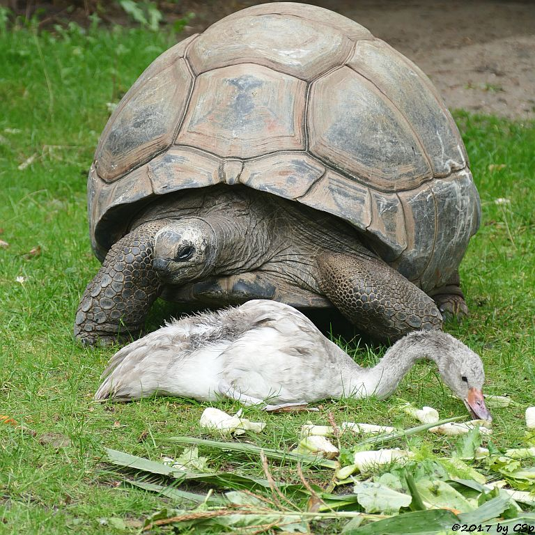 Schwarzhalsschwan, Aldabra- (Seychellen-) Riesenschildkröte
