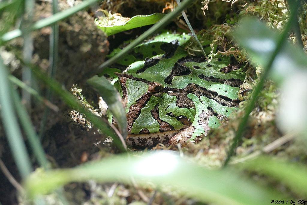 Cranwells Schmuckhornfrosch (Cranwells Hornfrosch)