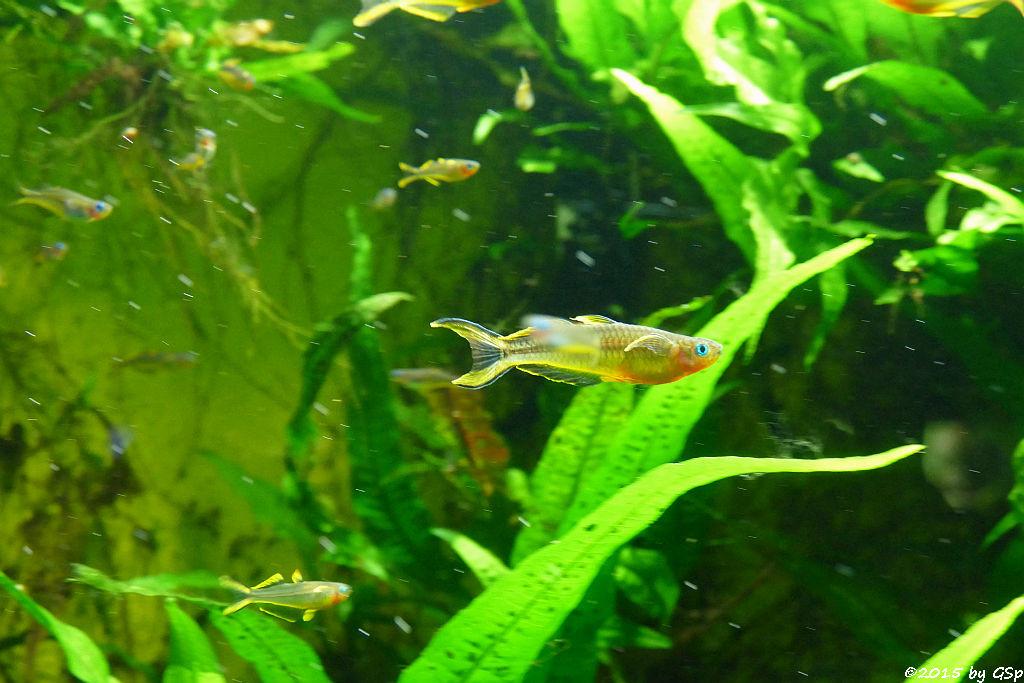 Gabelschwanz-Regenbogenfisch