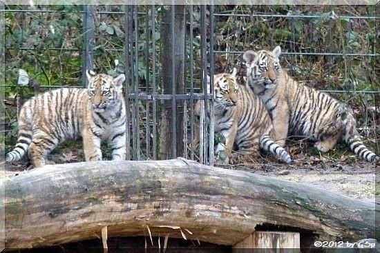 Sibirische Tiger FINJA, MILA und JEGOR