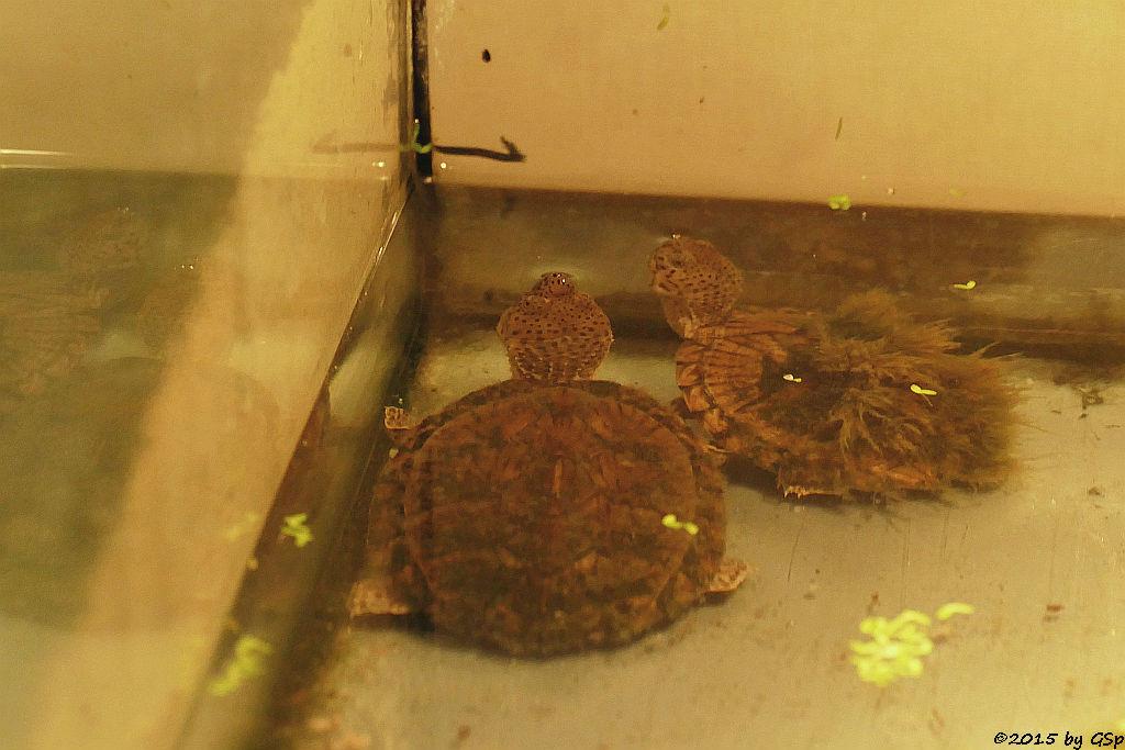 Gekielte Moschusschildkröte - Nachzucht