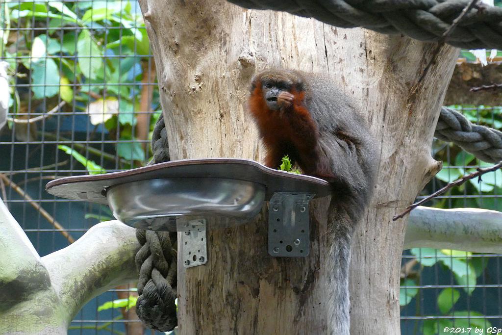 Roter Springaffe (Sumpfspringaffe, Roter Titi)
