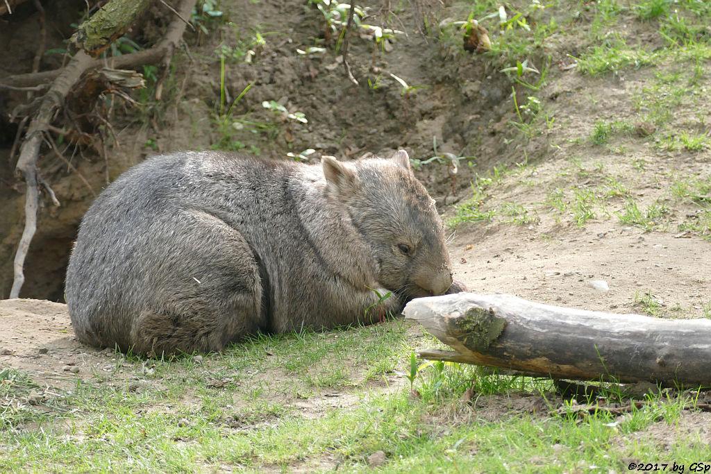 Australischer Nacktnasenwombat