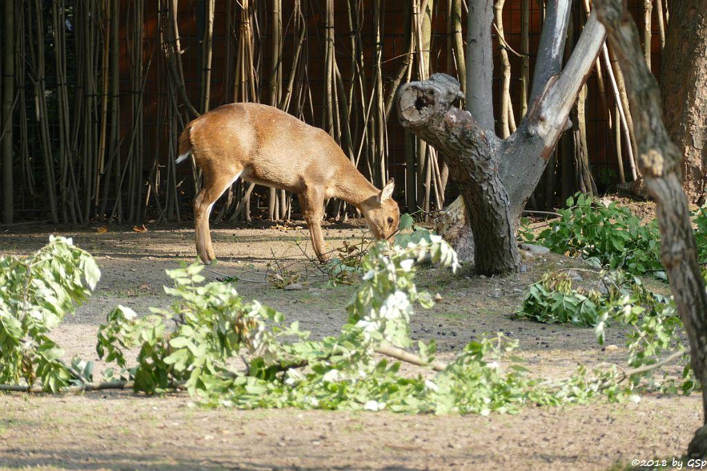 Vorderindischer Schweinshirsch