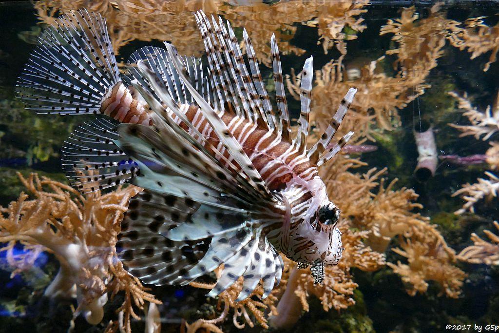 Pazifischer Rotfeuerfisch (Eigentlicher Rotfeuerfisch)