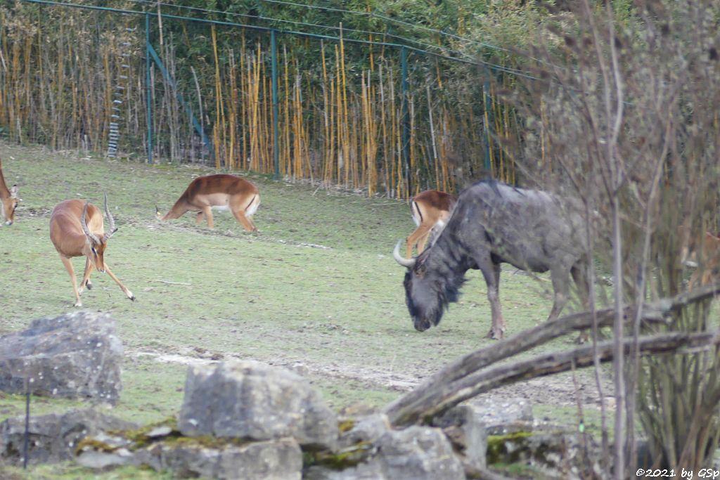 Impala (Schwarzfersenantilope), Südliches Streifengnu (Blaues Gnu)