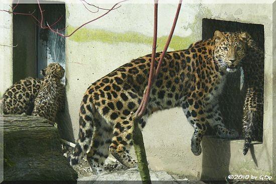 Amurleopard, Jungtiere geb. am 10.12.09 (14 Wo alt)