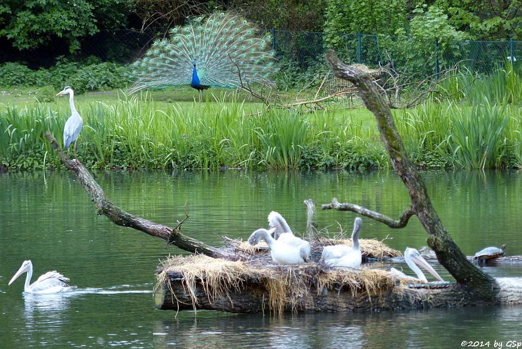 Graureiher, Blauer Pfau, Rötelpelikan