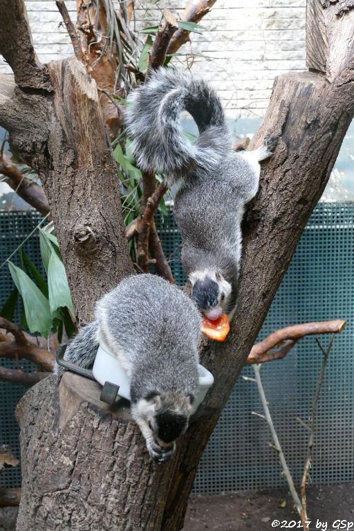 Sri-Lanka-Riesenhörnchen (Ceylon-Riesenhörnchen)