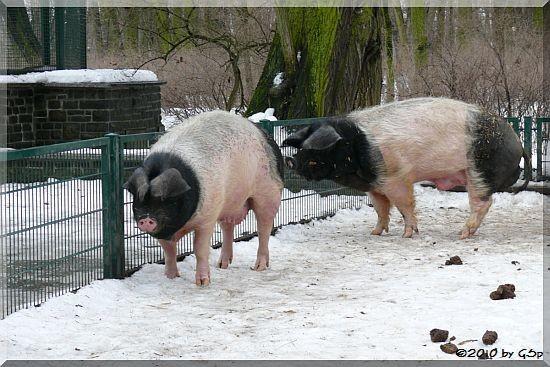 Märkisch-Hällisches Schwein