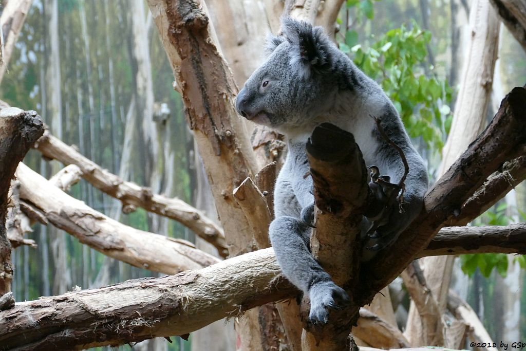 Queensland-Koala TINAROO