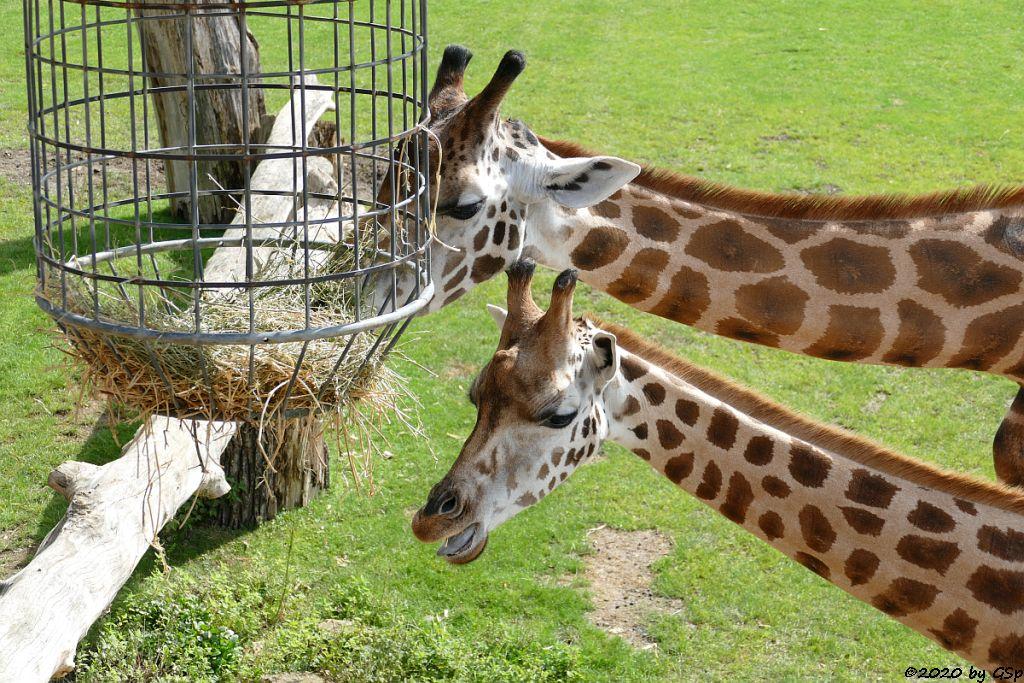 Rothschildgiraffe (Uganda-Giraffe, Baringo-Giraffe)