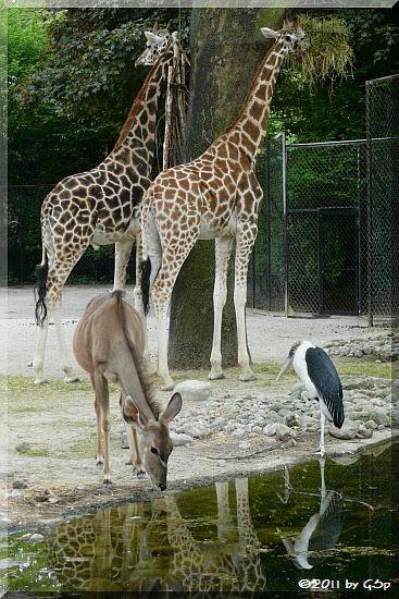 Rothschildgiraffe, Großer Kudu, Marabu