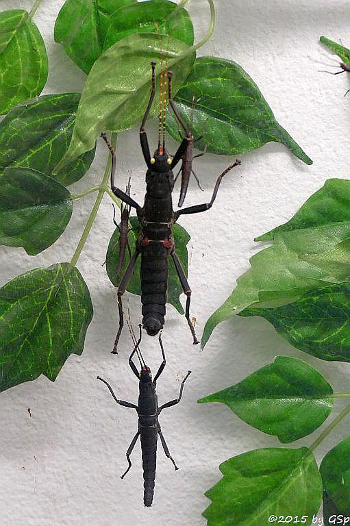 Peru-Samtschrecke