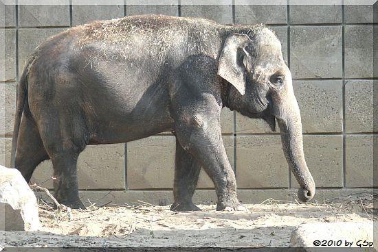 Asiatischer Elefant BIRMA
