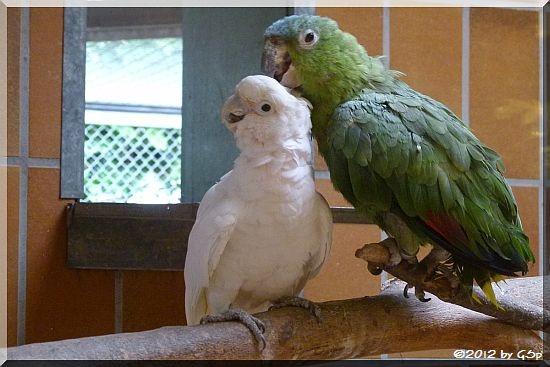 Weißhaubenkakadu und Guatemala-Amazone