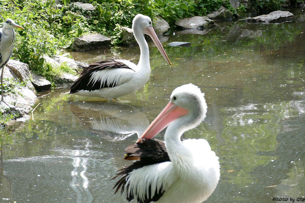 Brillenpelikan (Australischer Pelikan)