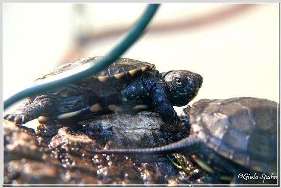 Östliche Zierschildkröte