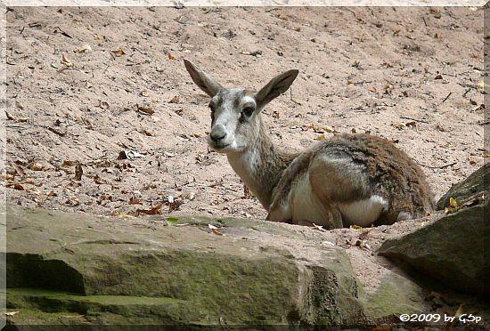 Kropfgazelle