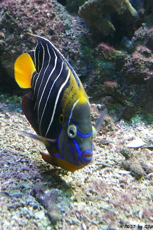 Gelbschwanz-Kaiserfisch (Ostafrika-Kaiserfisch)