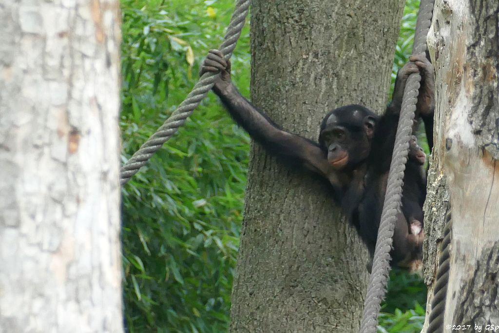 Bonobo YAROS mit TAYOS