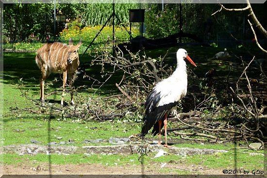 Nyala und Weißstorch