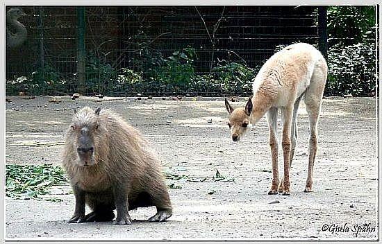 Capybara und Vikunja