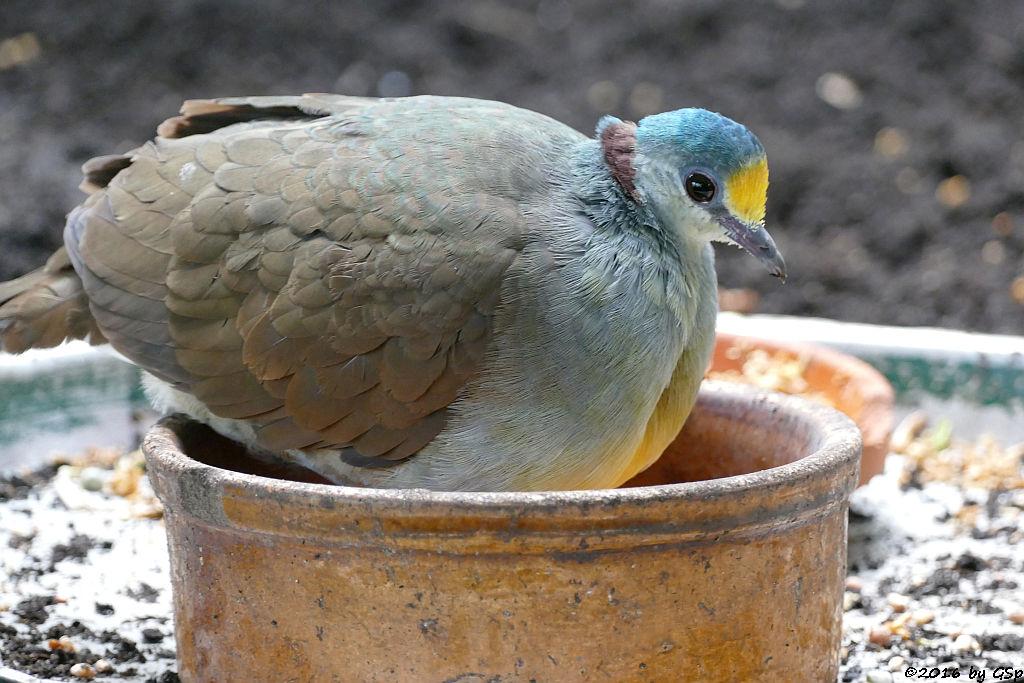 Hopftaube (Celebes-Gelbbrusterdtaube)