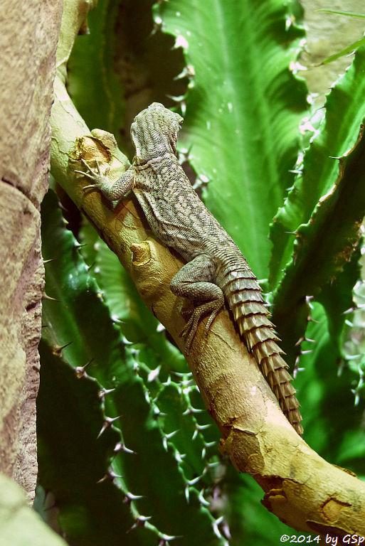 Großer Madagaskar-Baumleguan (Cuviers Madagaskarleguan, Rostroter Madagaskarleguan)