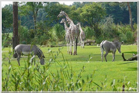 Rothschild-Giraffen und Grevy-Zebra