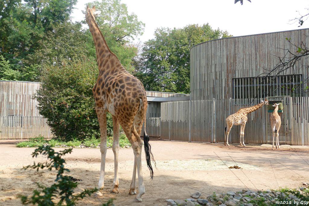 Kardofan-Giraffe
