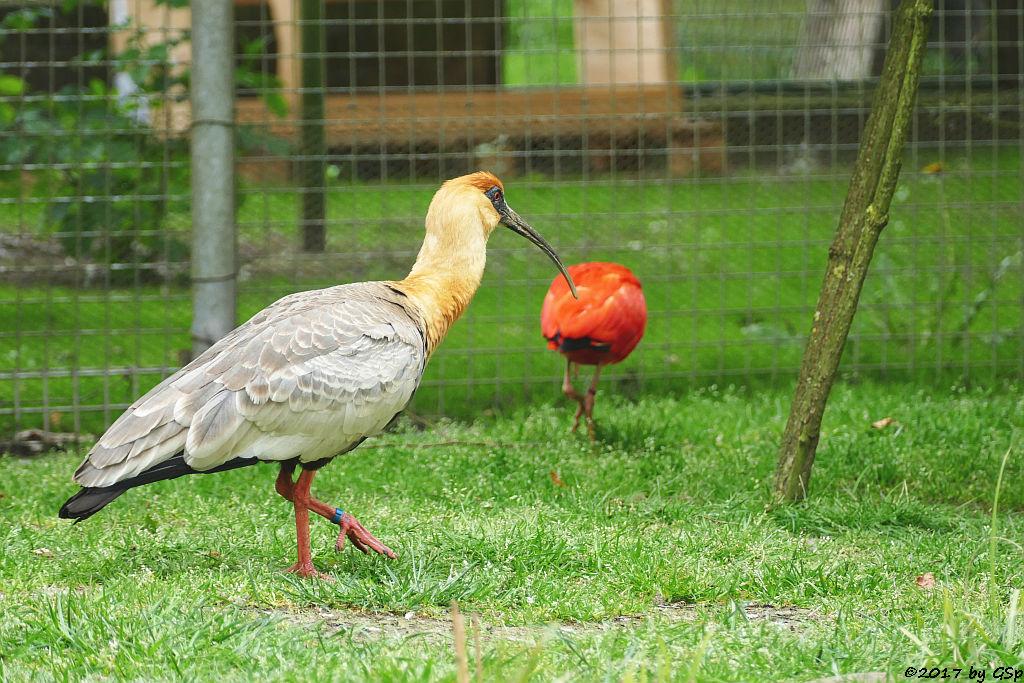 Weißhalsibis (Schwarzgesichtibis), Roter Sichler (Scharlachsichler, Rotibis)