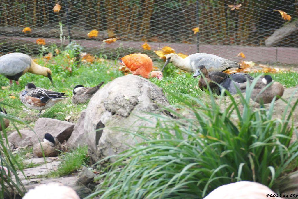 Schwarzzügelibis (Brillenibis), Chilepfeifente, Punaente (Puna-Kappenente), Roter Sichler (Scharlachsichler, Rotibis), Rotschulterente
