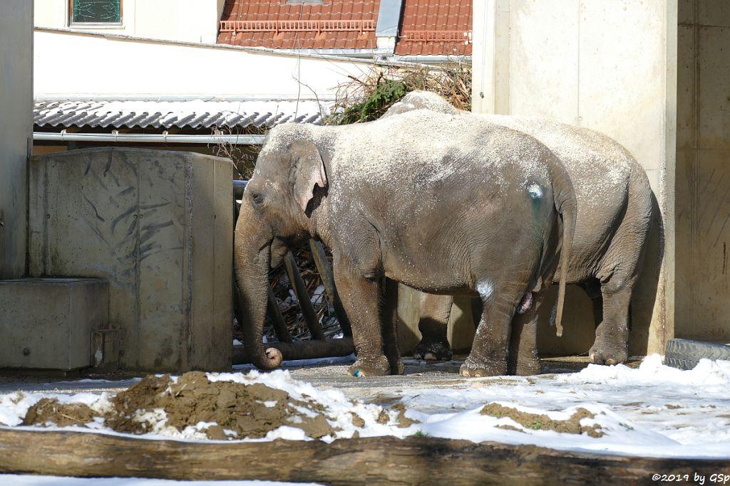 Asiatischer Elefant TARGA und BURMA