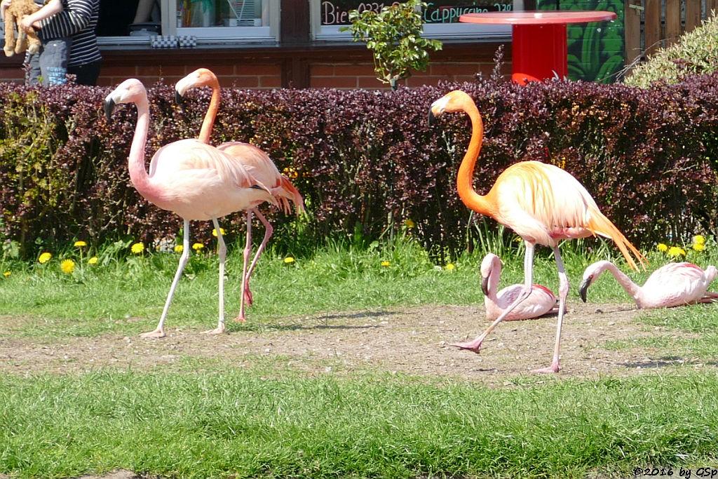 Chileflamingo, Kubaflamingo (Karibischer Flamingo, Roter Flamingo), Zwergflamingo