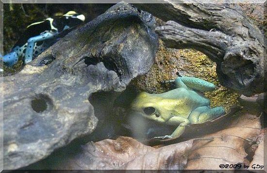 Schrecklicher Pfeilgiftfrosch