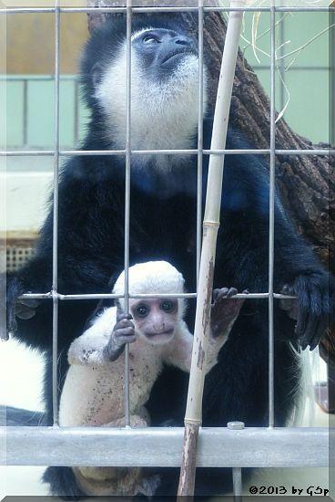 Kikuyu-Guereza mit Jungtier, geb. am 24.04.13