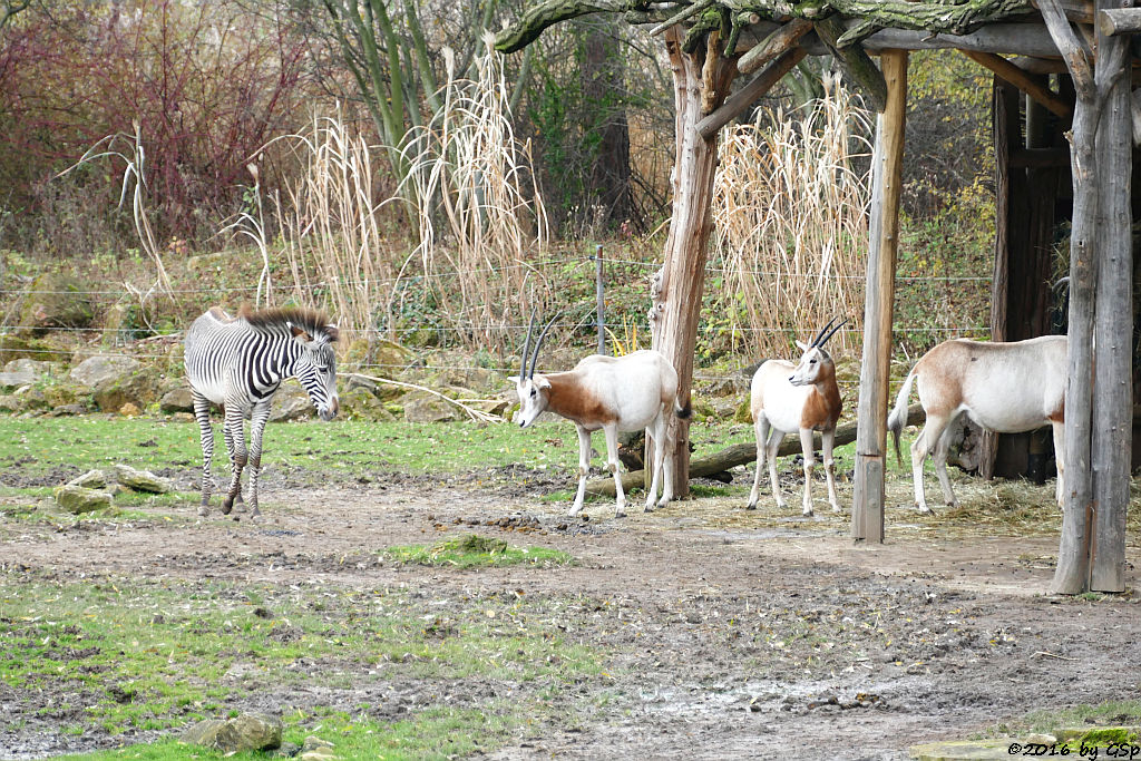 Grévy-Zebra, Säbelantilope
