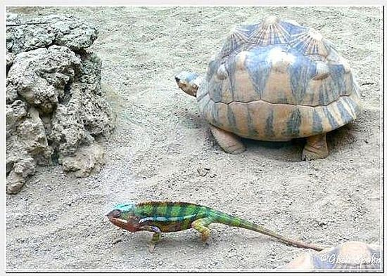 Strahlenschildkröte u. Phanter-Chamäleon