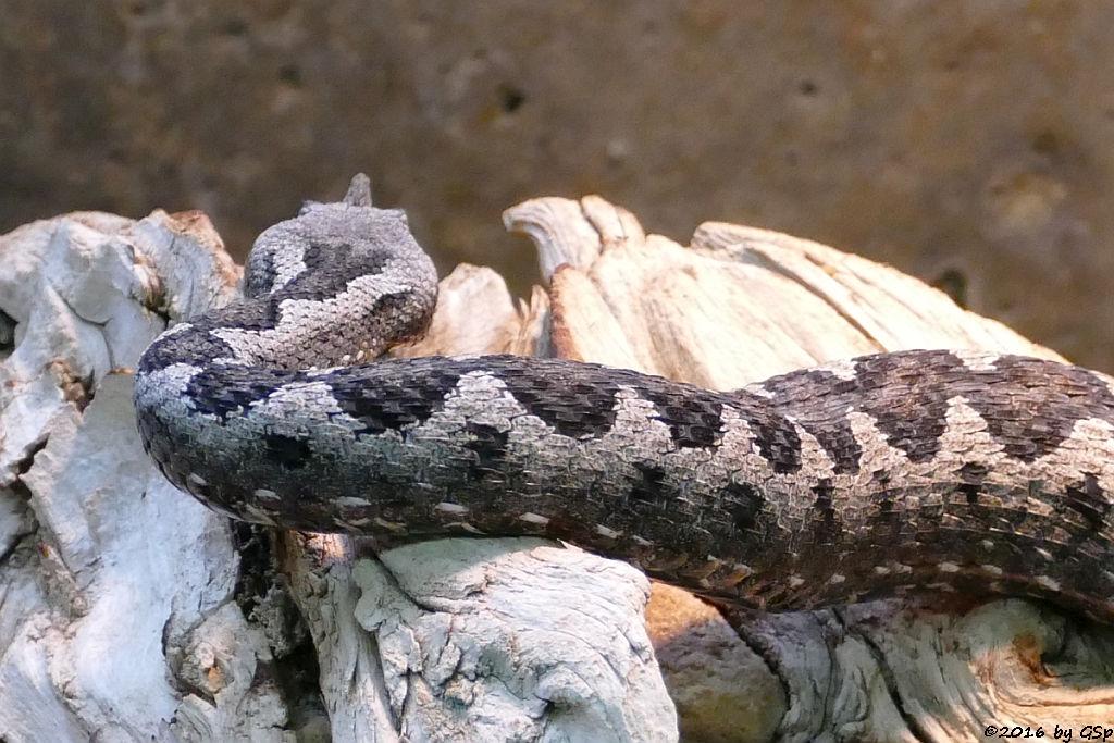 Südtiroler Hornotter (Europäische Hornotter)