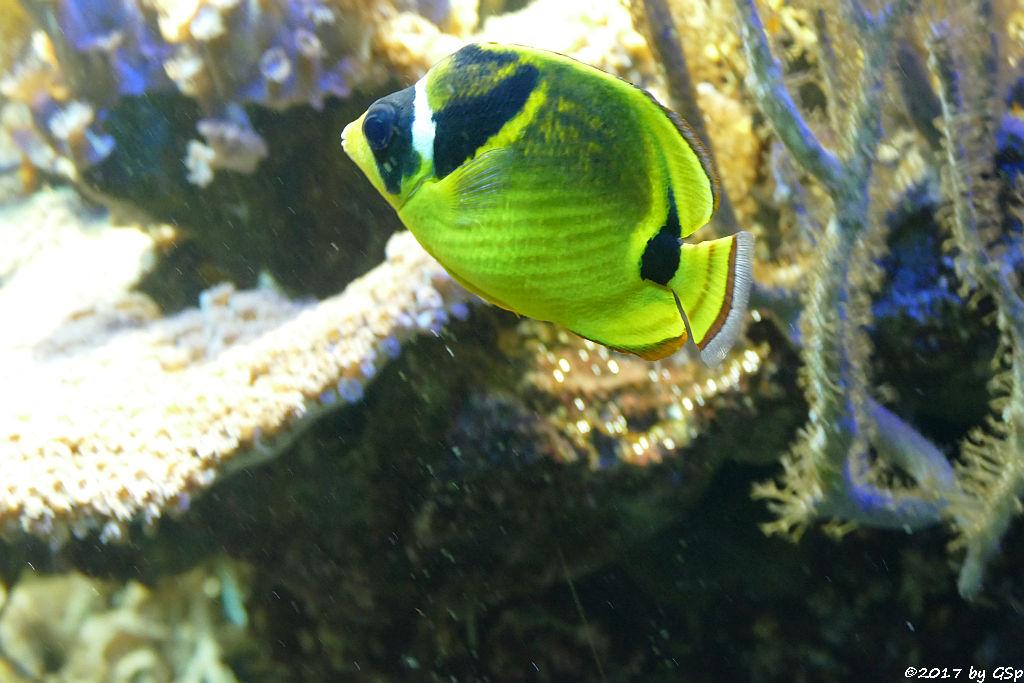 Mondsichel-Falterfisch (Mondfalterfisch)
