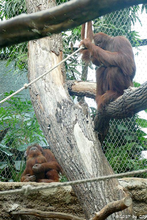 Sumatra-Orang-Utan ROSA mit SAYANG und KEMBALI