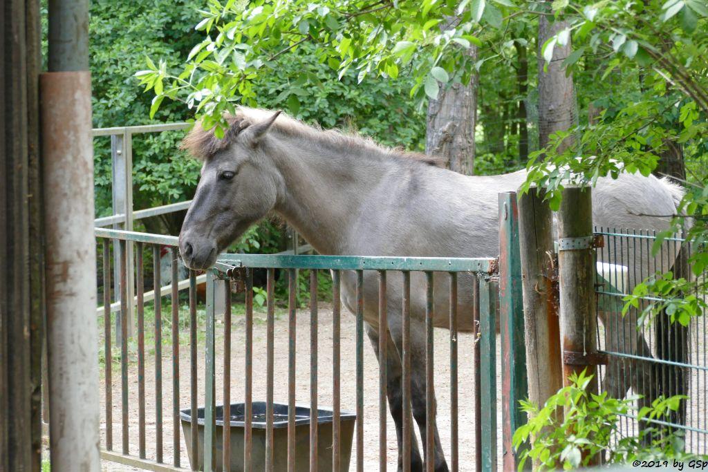 Waldtarpan (Rückzüchtung, Heckpferd, Tarpanfarbiges Hauspferd)