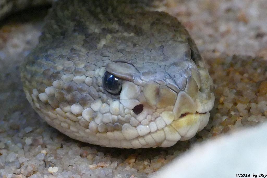 Basilisken-Klapperschlange (Mexikanische Wüstenklapperschlange)