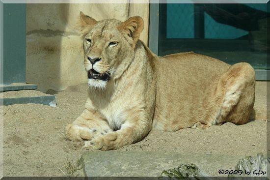 Angola-Löwe