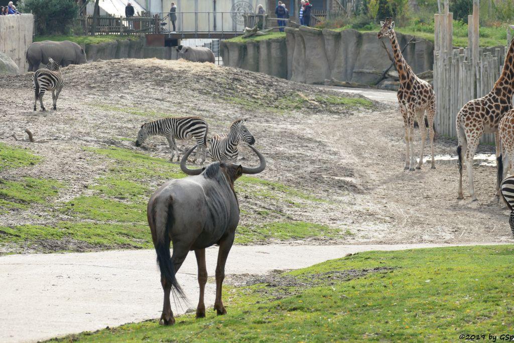 Südliches Streifengnu (Blaues Gnu), Böhm-Steppenzebra (Grant-Zebra), Südliches Breitmaulnashorn, Rothschildgiraffe (Uganda-Giraffe, Baringo-Giraffe)
