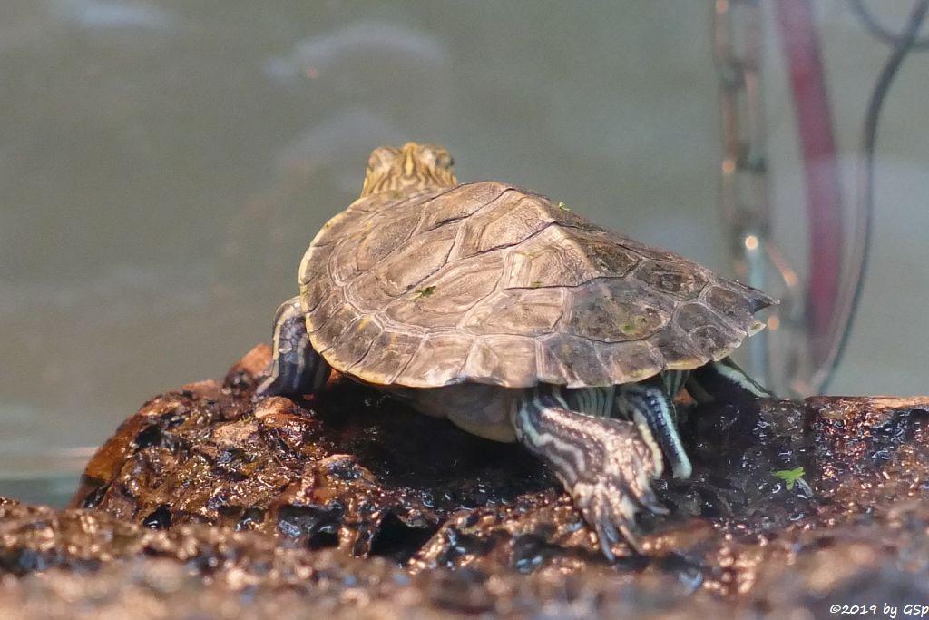 Nachzucht Langhals-Schmuckschildkröte