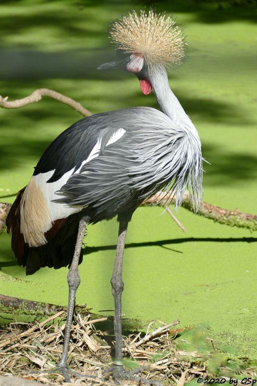 Grauhals-Kronenkranich (Südafrika-Kronenkranich, Königskranich)