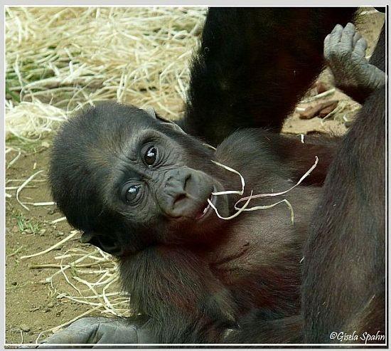 Flachlandgorillas 2008 - 2011 - 109 Fotos (NASIBU)